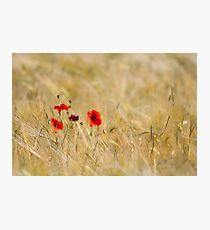 Poppies in a Field (Limited Edition) Photographic Print
