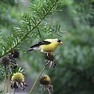 American Goldfinch by Karl R. Martin