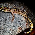 Marbled Velvet Gecko -  Orminston Gorge NT  by john  Lenagan