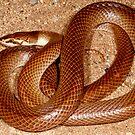 Myall Snake or Curl Snake ( Suta suta ) -  East MacDonald Ranges NT  by john  Lenagan