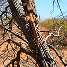 Sand Goanna - Varanus Gouldii - Gibber Plains and Little Desert SA by john  Lenagan