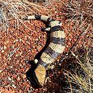 Western Blue-tongue  - Uluru  NT Oz by john  Lenagan