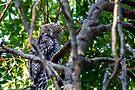 Powerful Owl, (Ninox strenua), Parent one  by Normf