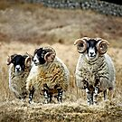 Cairnsmore Rams by Coigach