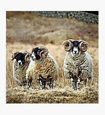 Cairnsmore Rams Photographic Print