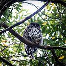 Powerful Owl, (Ninox strenua), Parent two by Normf