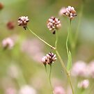 Delicate Pinks by lorilee