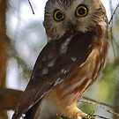 Northern Saw-whet Owl by naturalnomad