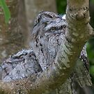 The Frogmouth Family by byronbackyard