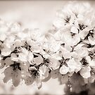 Spring Blossoms 4 by Alison Hill