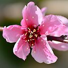 Spring Blossoms 5 by Alison Hill