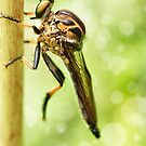 'Robberfly' by Kerrod Sulter