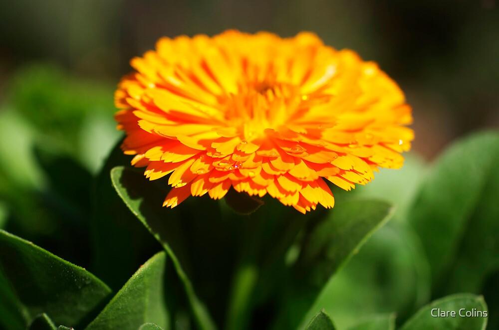 Springtime Orange by Clare Colins