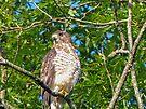 Broad-Wing Hawk by FrankieCat