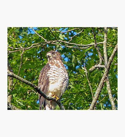Broad-Wing Hawk Photographic Print