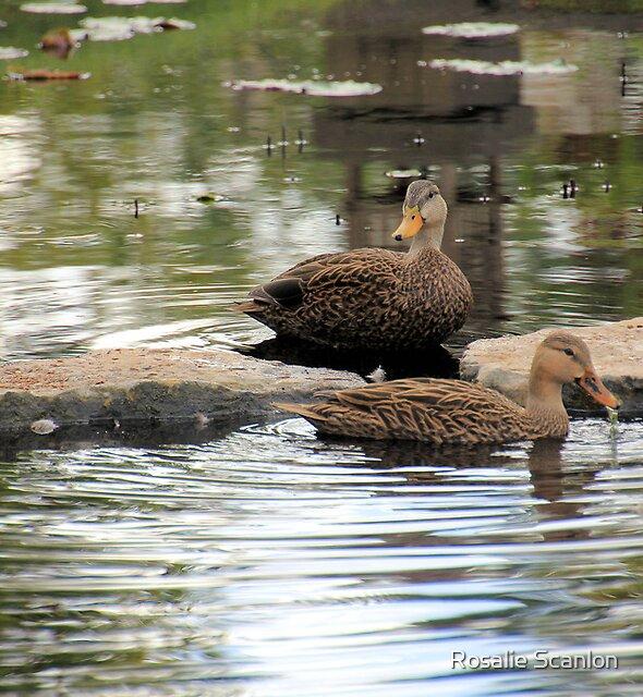 Mottled Duck Pair by Rosalie Scanlon