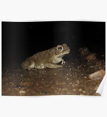 Sonoran Desert Toad (Colorado River Toad) Poster