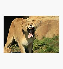 Lioness Toothless Yawn Photographic Print