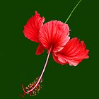 RED HIBISCUS by TomBaumker