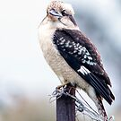 Kookaburra by Robert-Todd