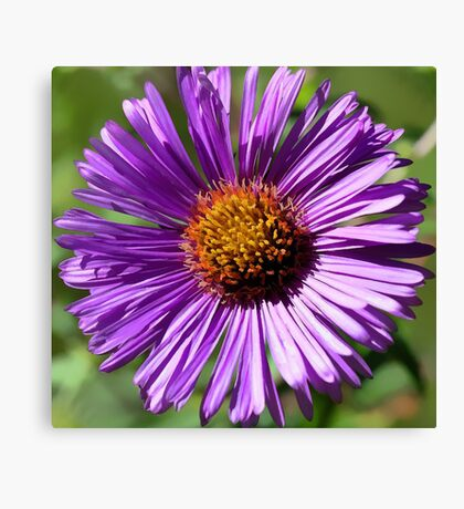 Fall Aster - (Face to Face) Canvas Print