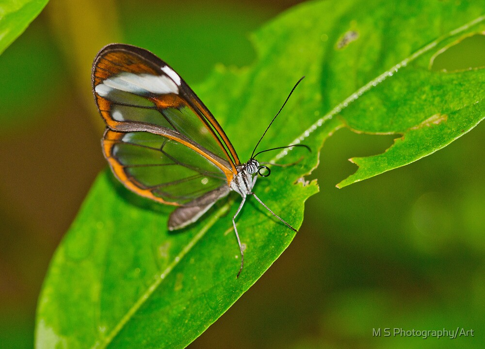 Glasswing Butterfly by M S Photography/Art