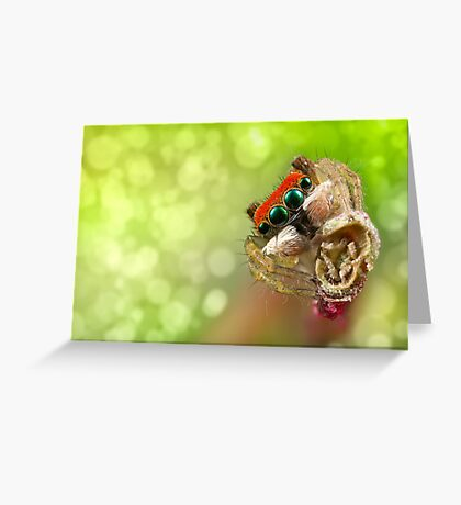 Focus Stacked 'Peacock Jumping Spider' Greeting Card