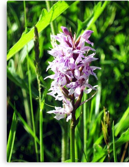 wild Orchid by sebmcnulty