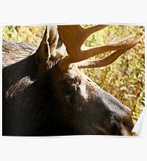 Maine Bull Moose  Poster