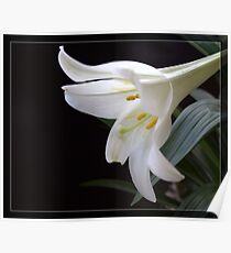 Pure white Easter lily flower in frame. Floral photo art.  Poster