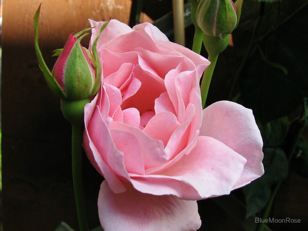 Up Close and Personal - Sugar Pink Rose by BlueMoonRose