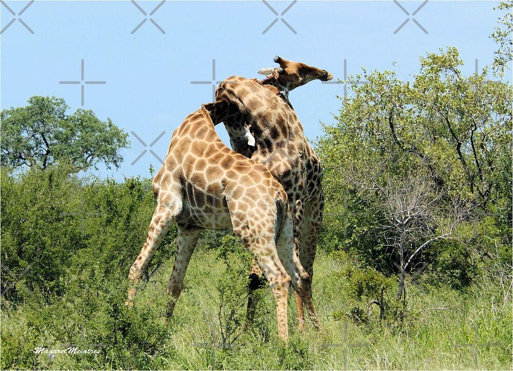 THE SPELL - GIRAFFE - Giraffa camelopardalis - ENCOUNTERS IN MATING SEASON by Magriet Meintjes