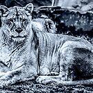 Lioness by FelipeLodi