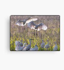 Egrets  8 Canvas Print