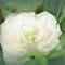 *FeaturePage/White Flower - Enchanted Flowers*