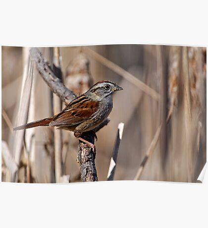 Swamp Sparrow Poster