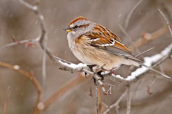 American Tree Sparrow by Michael Cummings
