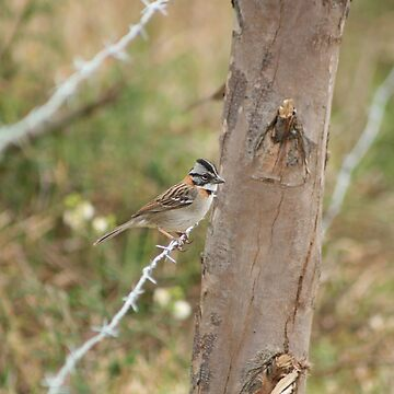 Rufous Collared Sparrow on Barbed Wire by rhamm