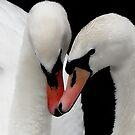 Swan Love by martin bullimore