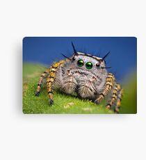 """""""Phidippus mystaceus"""" Jumping Spider Macro Canvas Print"""