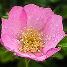 Raindrops on petals by Chris Brunton