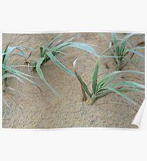 windswept dune grass Poster