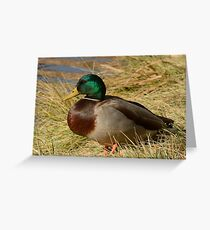 Mallard duck Drake Greeting Card