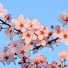 Spring Blossoms 2 by Alison Hill