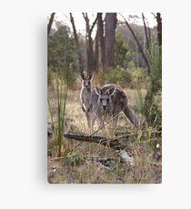 Curious Kangaroos Canvas Print