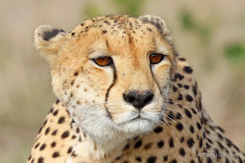 Female cheetah up close by jozi1