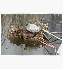 Painted Turtle Sunning on a Mud Flat Poster