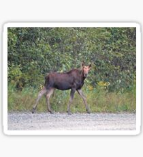 Maine Moose young bull Sticker
