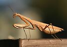 Mantis by Dave Davis