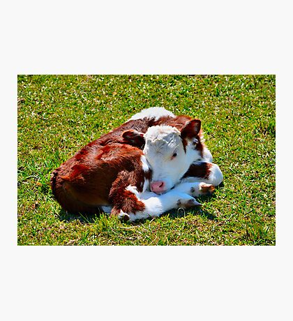 Curled-up Calf Photographic Print